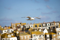 St Ives and the Seagull